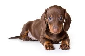 cucciolo di bassotto