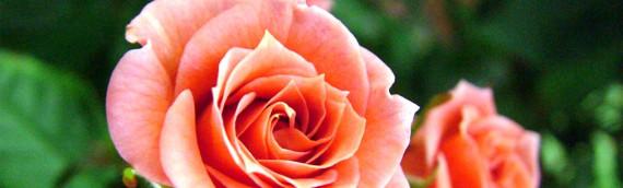 Le rose regine di maggio: come prendersene cura